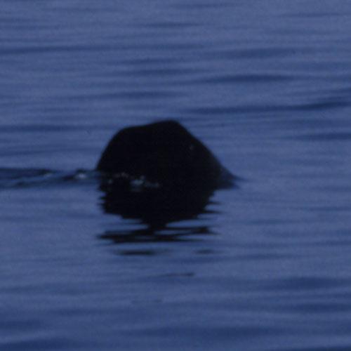 Basking Shark Sighting