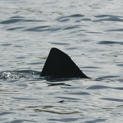 Basking Shark Sighting